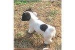 Picture of AKC Russell Terrier Marijane