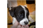 Picture of AKC Russell Terrier Madi