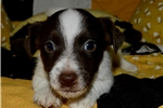 Picture of Male Russell Terrier Mace
