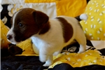Picture of Female Russell Terrier Madi