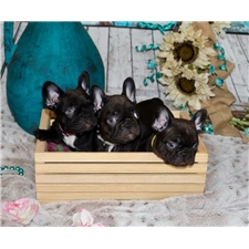 View full profile for Over The Mhoon Bullies & Royal Frenchies