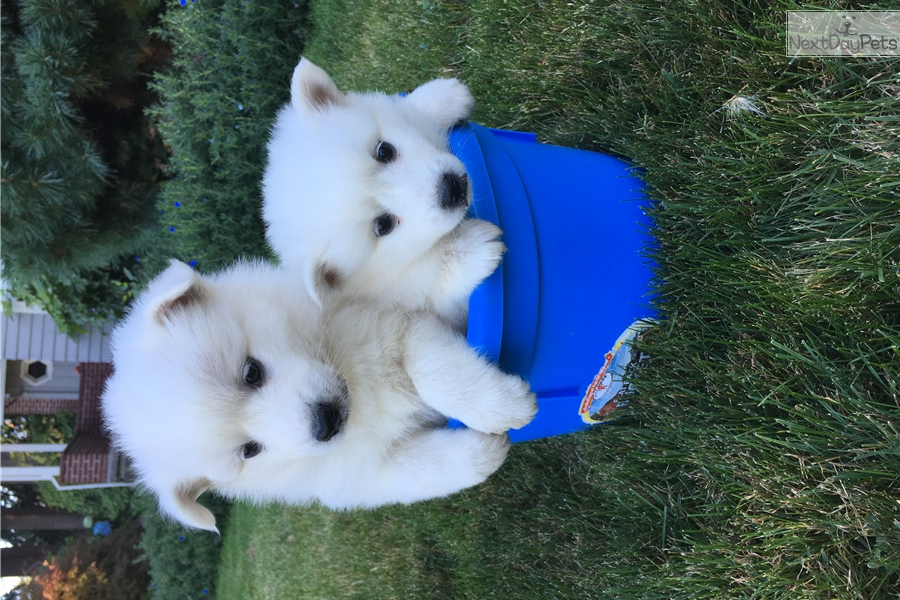 Female 1 American Eskimo Dog Puppy For Sale Near Portland Oregon