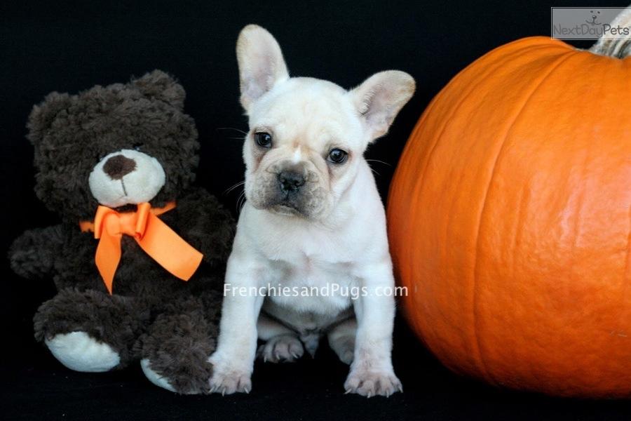Roko French Bulldog Puppy For Sale Near Akron Canton Ohio