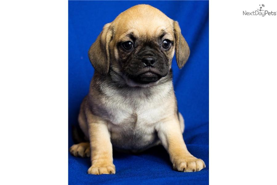 Puggle puppy for sale near Columbus, Ohio | 8f5e09bf-f561