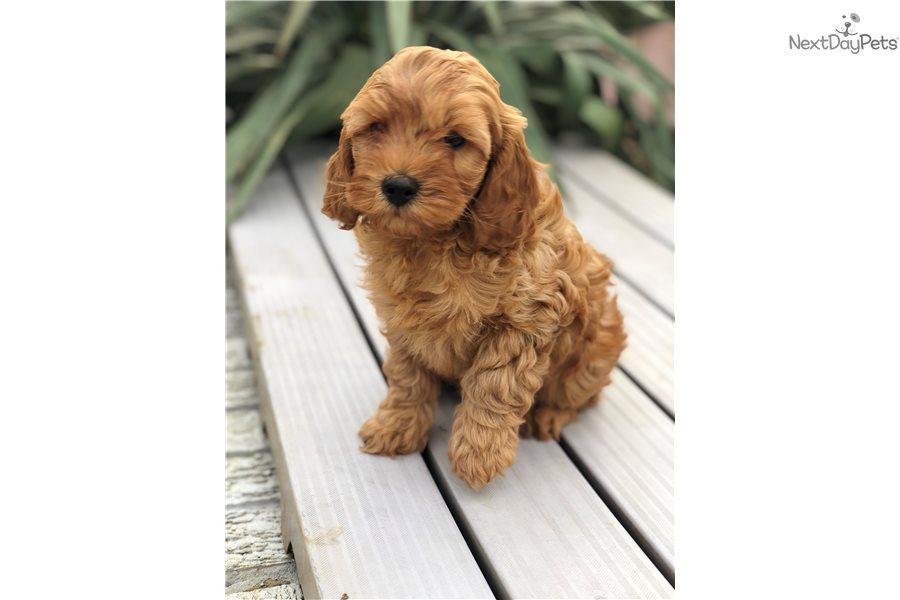 Cavapoo puppy for sale near Dallas / Fort Worth, Texas | ae9599bf-1da1