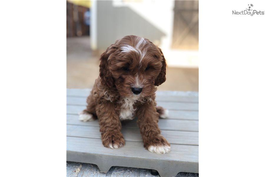 Cavapoo puppy for sale near Dallas / Fort Worth, Texas ...