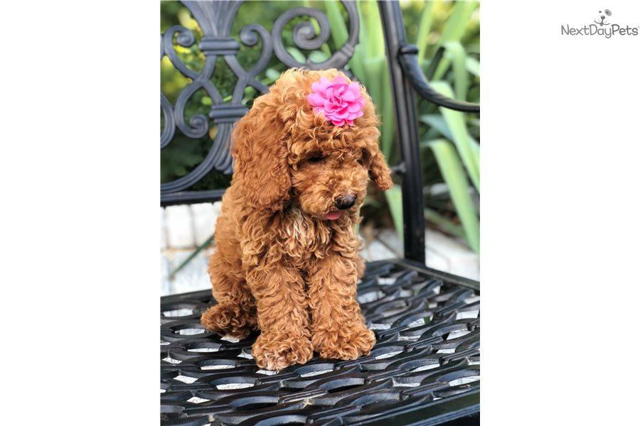 Cockapoo puppy for sale near Dallas / Fort Worth, Texas | 39b38751-7d01