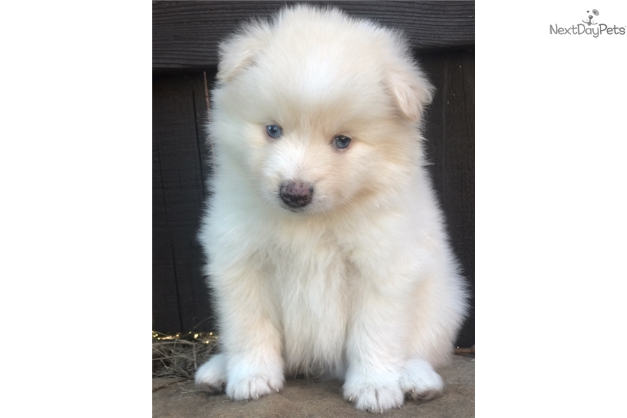 Pomsky Puppies In Texas