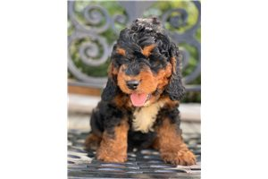 Picture of a Springerdoodle Puppy