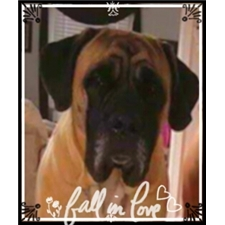 View full profile for Belle Geant' Mastiffs