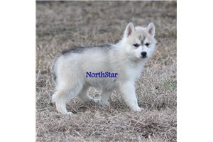Picture of Cheyenne AKC