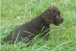 Picture of Female Boykin Spaniel Puppy!  Available now