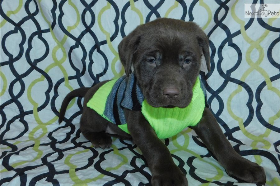 Chloe Labrador Retriever Puppy For Sale Near Akron Canton Ohio