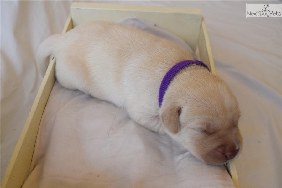 Mckenna: Labrador Retriever puppy for sale near Sarasota