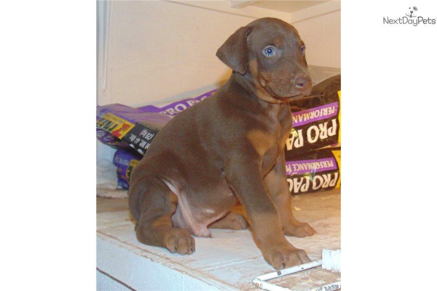 Doberman Pinscher puppy for sale near Tyler / East TX, Texas