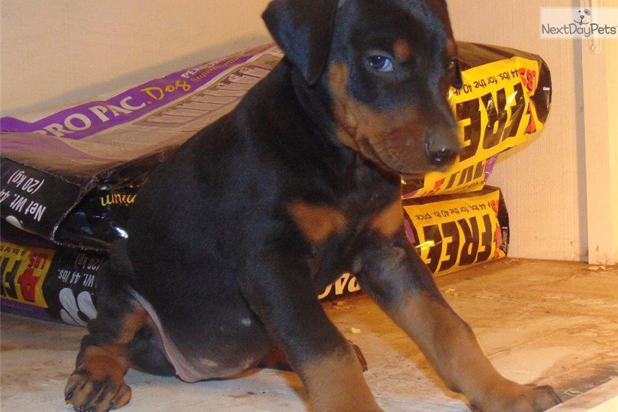 Tonja Walker / Guide rottweiler puppies tyler texas