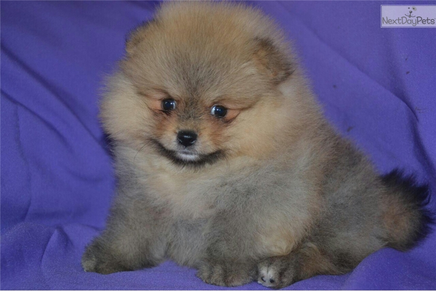 Josh: Pomeranian puppy for sale near Moscow, Russian