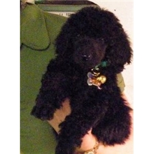 View full profile for Poodle Pride Puppies