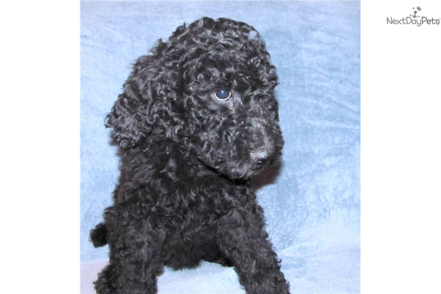 Female 1: Poodle, Standard puppy for sale near Milwaukee, Wisconsin