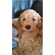 View full profile for Mini Golden Doodles