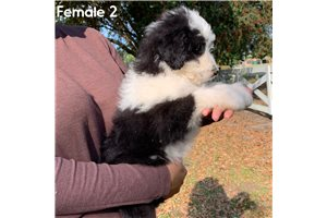 Aussiedoodles for sale