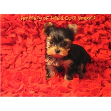 View full profile for Her 2 Cute Yorkies