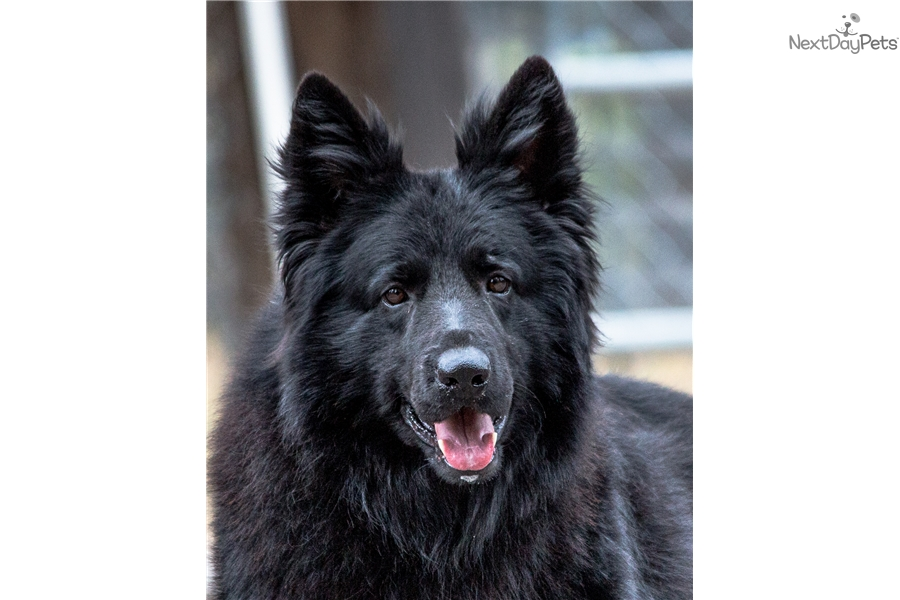 Female 1 German Shepherd Puppy For Sale Near Klamath Falls Oregon