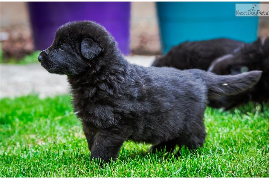 German Shepherd Puppy For Sale Near Klamath Falls Oregon 28a4f82b