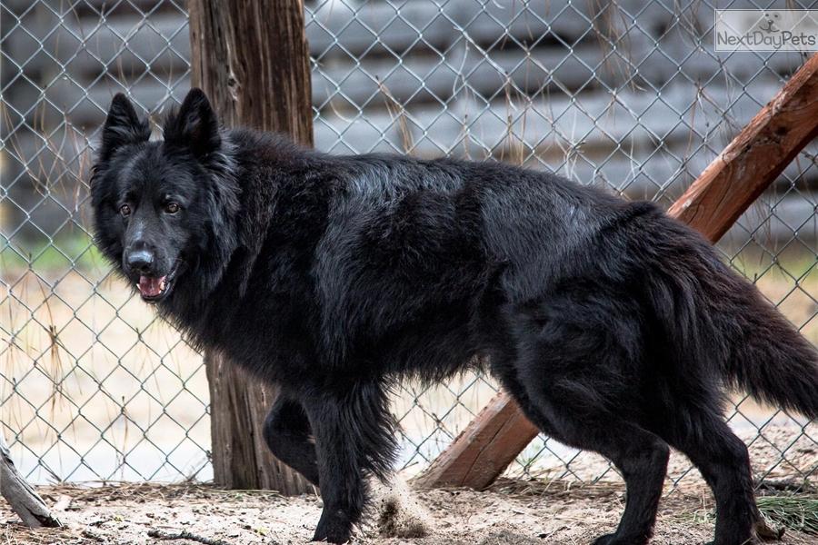 German Shepherd Dog Puppies For Sale Price