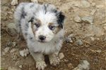 Australian Shepherd Puppies for Sale from Las Vegas, Nevada