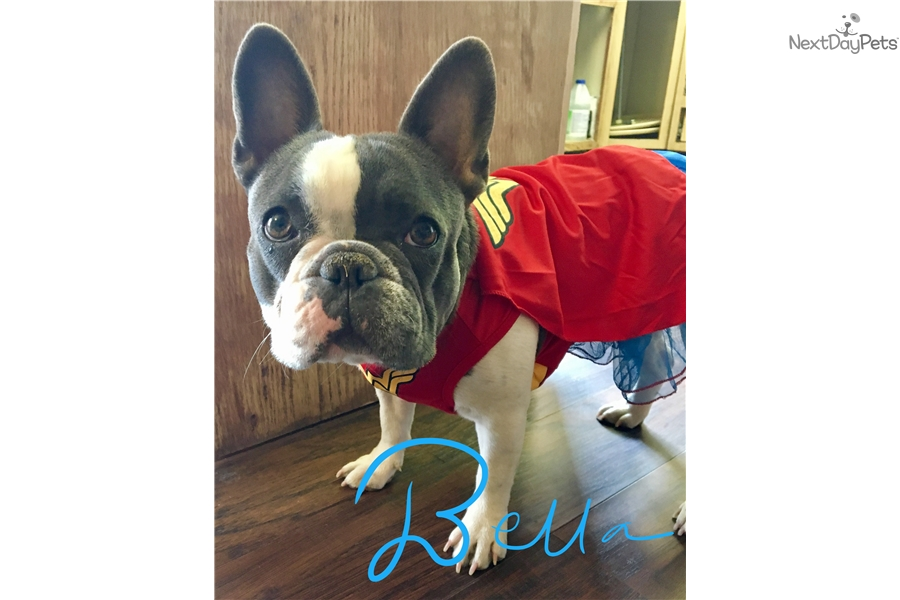 french bulldog utah french bulldog puppy for sale near salt lake city utah 6608