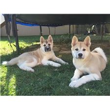 View full profile for Highland Akitas