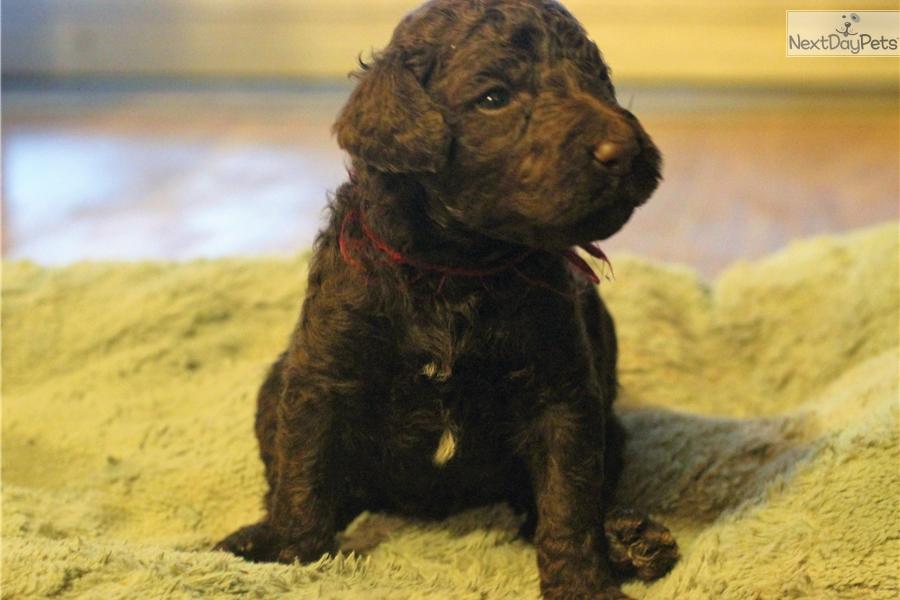 Alexander Poodle Standard Puppy For Sale Near Montgomery Alabama
