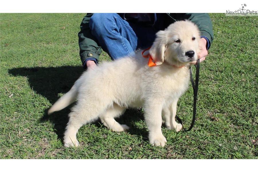 Orange Boy English Golden Retriever Puppy For Sale Near Texarkana