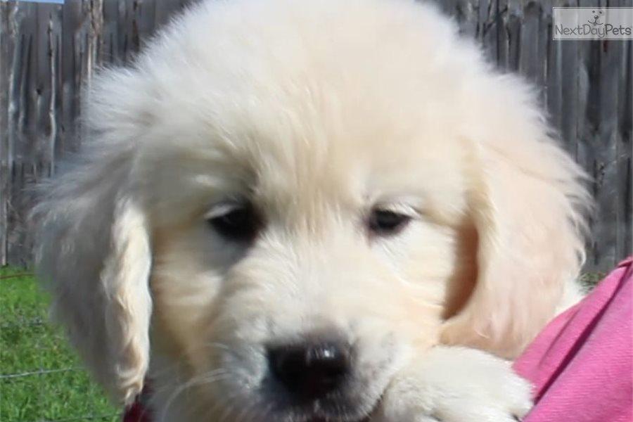 Roz Orange English Golden Retriever Puppy For Sale Near Texarkana
