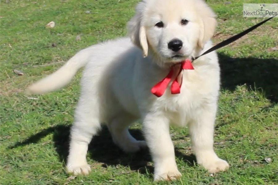 Red Boy English Golden Retriever Puppy For Sale Near Texarkana