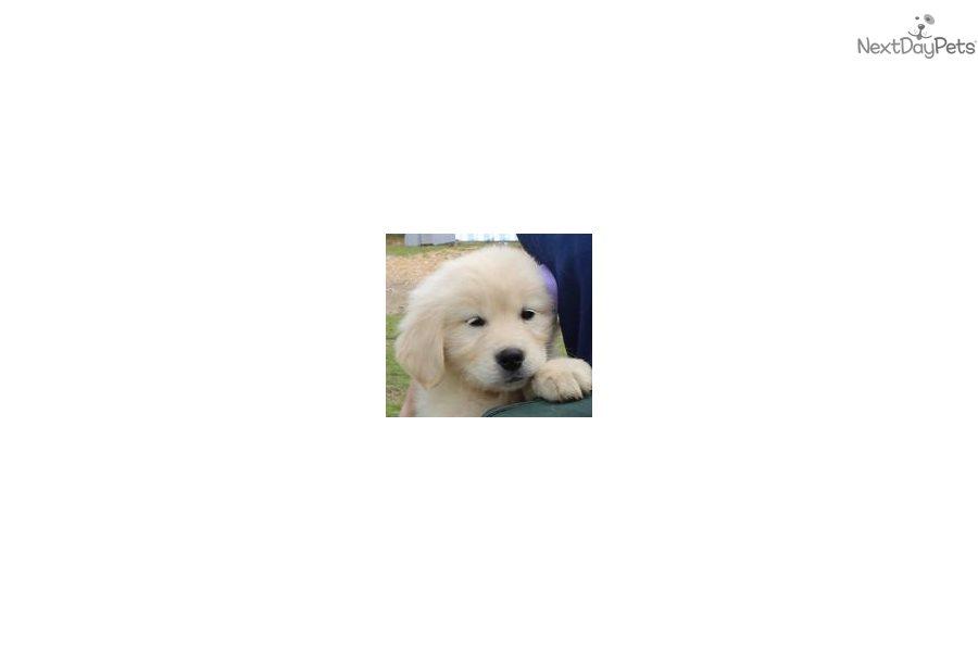 Star Lavender English Golden Retriever Puppy For Sale Near