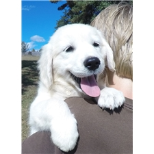 View full profile for Lily's White English Goldens