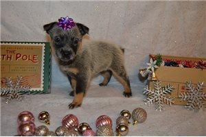Mila on hold - Australian Cattle Dog/Blue Heeler for sale