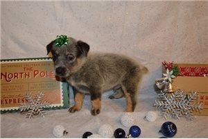 Miles on hold - Australian Cattle Dog/Blue Heeler for sale