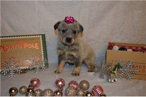 Millie hold - Australian Cattle Dog/Blue Heeler for sale