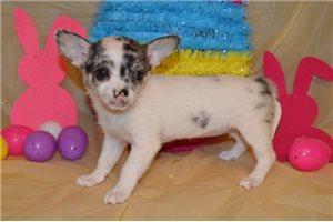 Luna - Chihuahua for sale