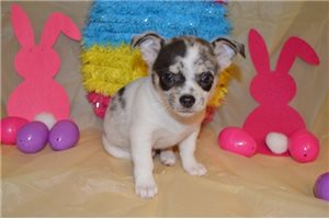 Lenny - Chihuahua for sale