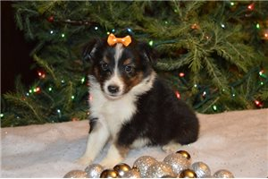 Mac - Shetland Sheepdog - Sheltie for sale