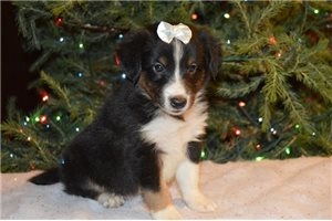 Shelaussie Max | Puppy at 7 weeks of age for sale