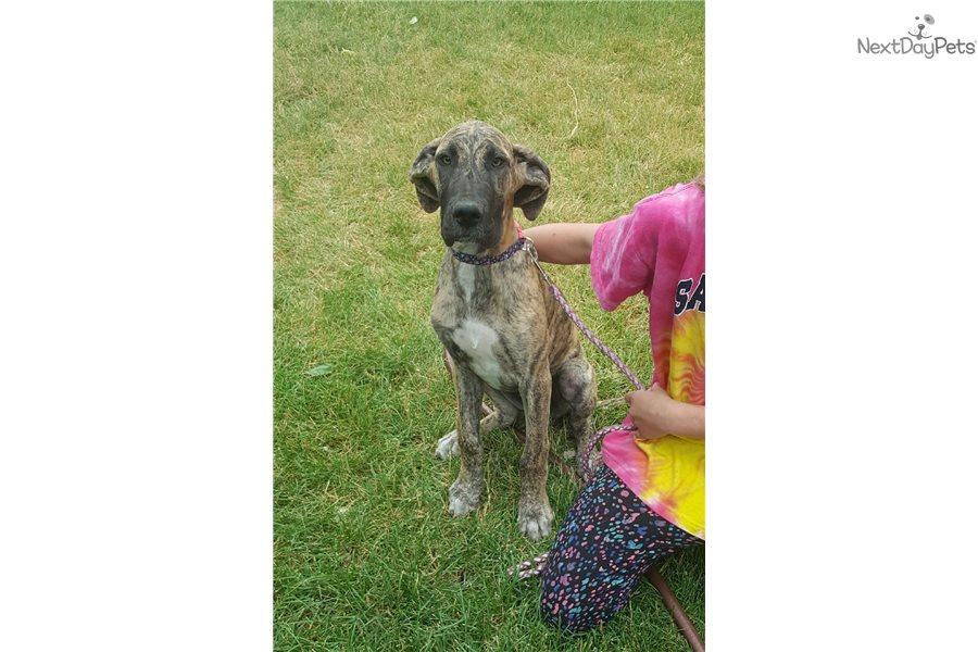 Plus Great Dane Puppy For Sale Near Boulder Colorado Cc84f076 5811