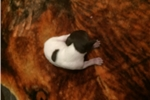 Picture of Christmas AKC Shorthair Pointer pups