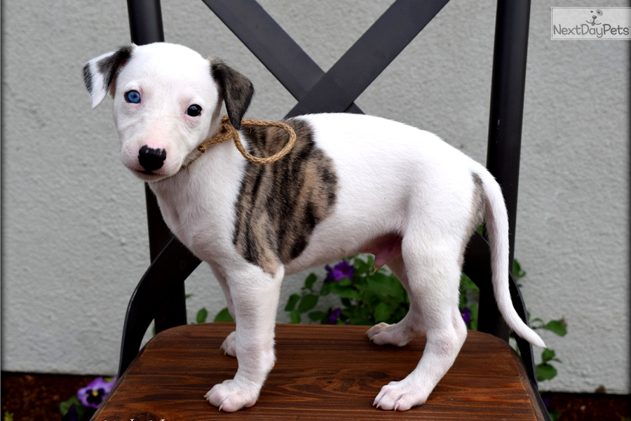 Buy Whippet Puppies Dogs For Sale In Yukon Canada
