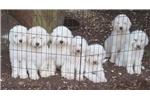 Picture of AKC Male Komondor Puppy