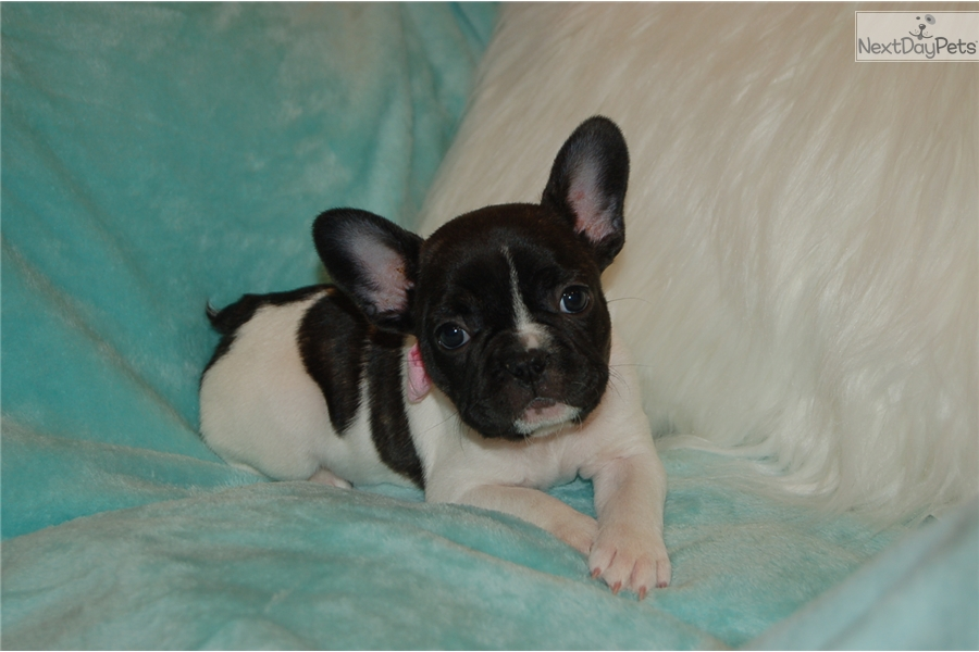 French Bulldog Puppy For Sale Near Chicago Illinois Bcade06a A2d1